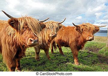 tehén, feláll, mező, skót, becsuk, felföld