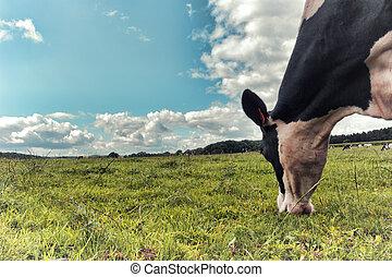 tehén, mező, fekete, zöld white, legelés
