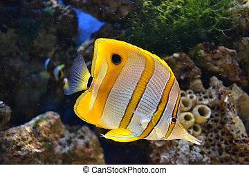 tenger, butterflyfish