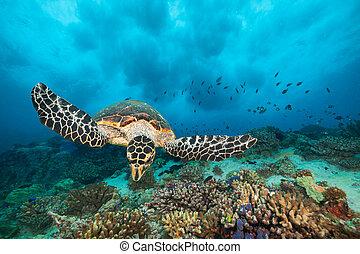 tengeri teknős, indiai, tenger, hawksbill, óceán