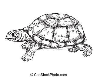 tengeri teknős, metszés, vektor, mód