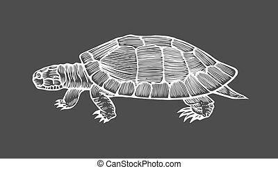 tengeri teknős, vektor, illustration.