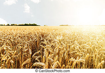 termés, ellen, hajlandó, világos nap, aratás, mező