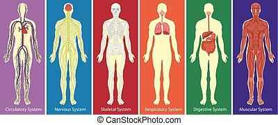 test, ábra, különböző, rendszerek, emberi