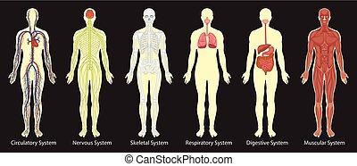 test, ábra, rendszerek, emberi