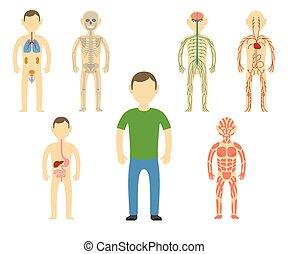 test, anatomy., karikatúra, ember