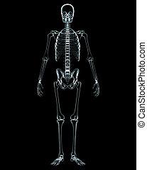 test, elülső, hím, röntgen, kilátás