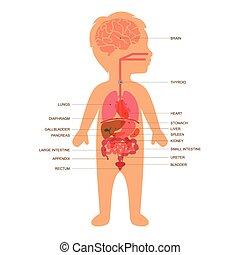 test, gyermek, anatómia