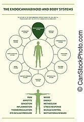 test, infographic, függőleges, endocannabinoid, rendszerek