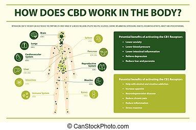 test, infographic, horizontális, cbd, munka, hogyan