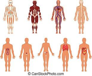 test, keringési, különböző, excretory, orgánum, állhatatos, rendszer, ideges, anatómia, emésztő, rendszerek, vektor, emberi, erős, légzési, ábra, nemi