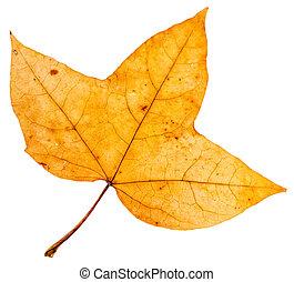 three-lobed, levél növényen, fa, sárga, ősz, juharfa