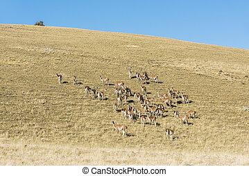 tierra, lamas, nagy, vad, guanaco, csorda, del, fuego, pampa