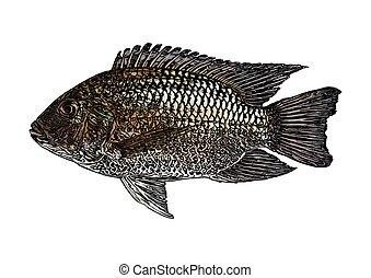 tilapia, ábra, fish, vektor, blackchin