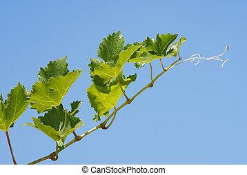 tiszta égbolt, háttér, szőlőtőke