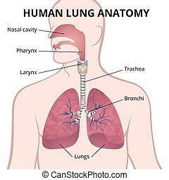 trachea, tüdő, nasopharynx, emberi