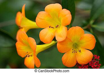 tropikus, rododendron, virág