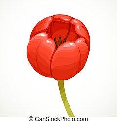 tulipán, elszigetelt, háttér, virág, white piros, rügy