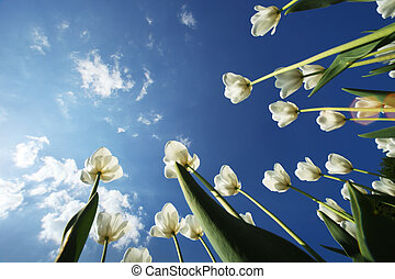 tulipán, felett, menstruáció, ég, háttér