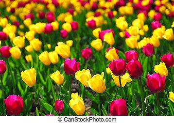 tulipán terep