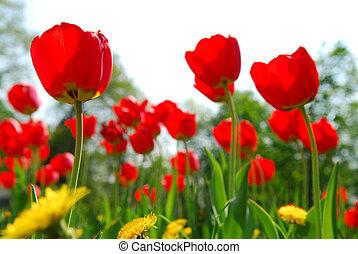 tulipán, virág, mező