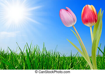 tulipánok, fű, gyönyörű