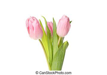 tulipánok, gyönyörű, rózsaszínű, fehér, becsuk, háttér, feláll, elszigetelt