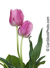 tulipánok, két