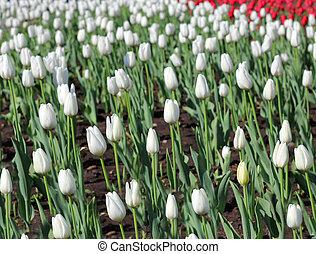 tulipánok, mező, eredet, gyönyörű, idő