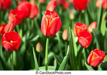 tulipánok, piros, eredet, először