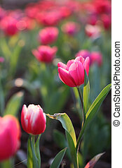 tulipánok, rózsaszínű