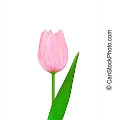 tulipánok, rózsaszín háttér, elszigetelt, gyönyörű, fehér