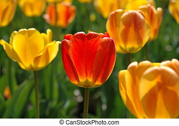 tulipánok, sárga, egy, tulipán, narancs, piros
