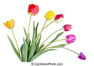 tulipánok, színes