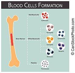 vér sejt, képződés