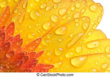víz, closeup, százszorszép, sárga, cseppecskék