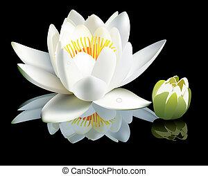 vízililiom, virágbimbó, fehér
