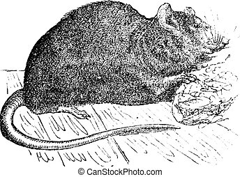 vagy, patkány, patkány, decumanus), barna, közös, engraving., szüret, (mus