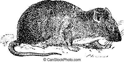 vagy, patkány, patkány, kanális, barna, engraving., szüret