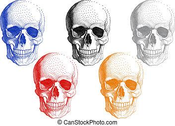 vektor, állhatatos, koponya, emberi