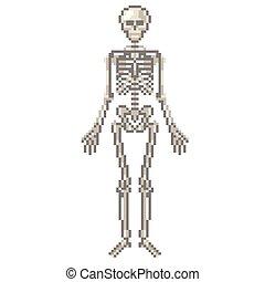 vektor, fénykép, emberi csontváz
