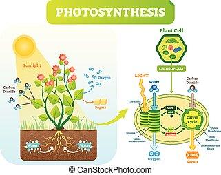 vektor, fotoszintézis, scheme., sejt, biológiai, terv, ábra, ábra