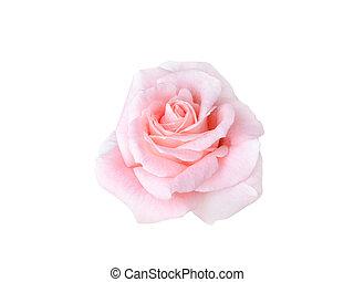 világos rózsaszínű, rózsa, gyönyörű