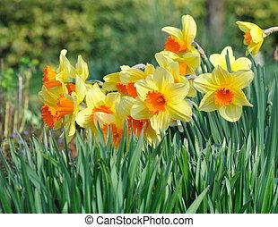 virágágyás, nárciszok
