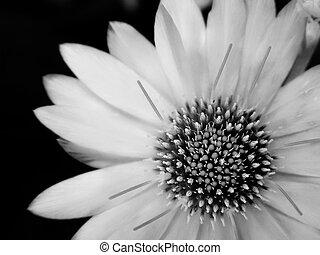 virág, black-and-white