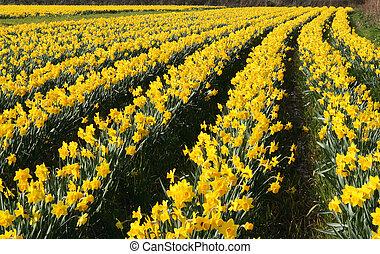 virág, cornwall, nárciszok, mező, uk.