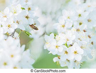 virág, cseresznyefa, elágazik, eredet