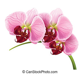 virág, elágazik, elszigetelt, vektor, háttér, orhidea