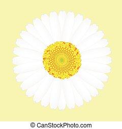 virág, elszigetelt, sárga háttér, százszorszép, fehér