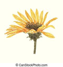 virág, elszigetelt, sárga, vízfestmény, háttér, fehér